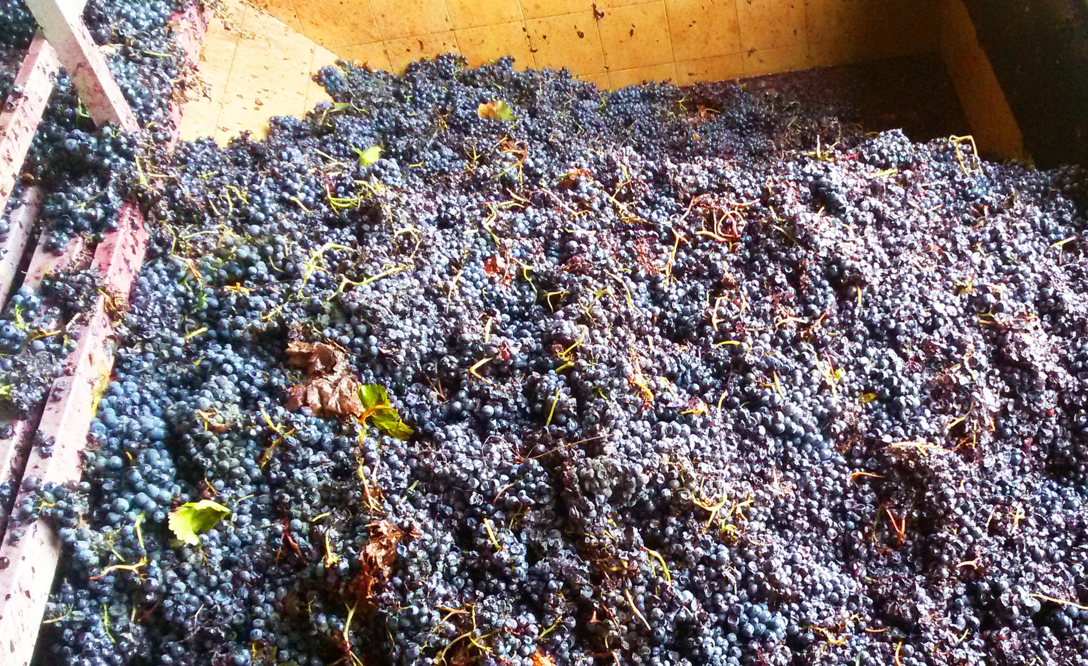 Weintrauben kurz vor Pressung